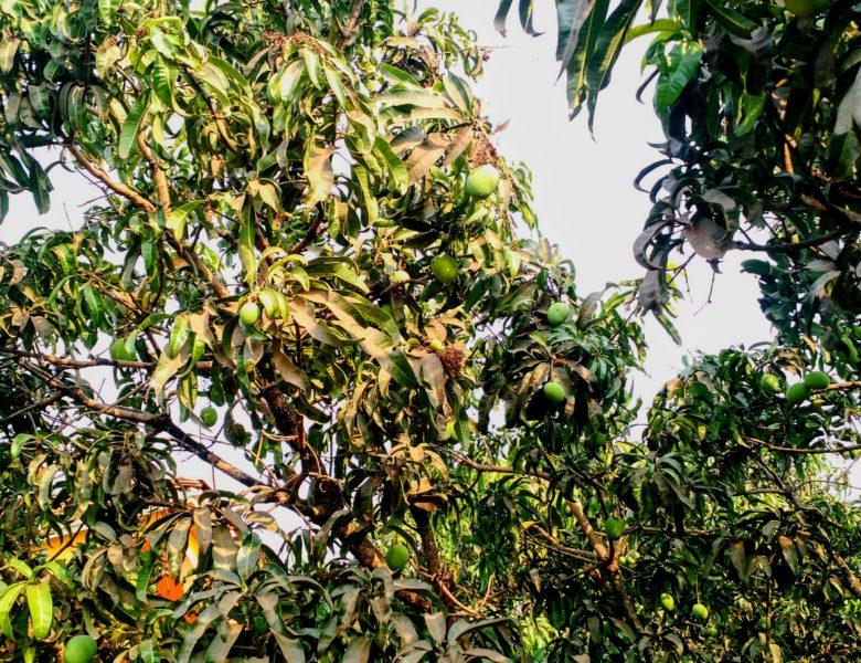 Ода манго