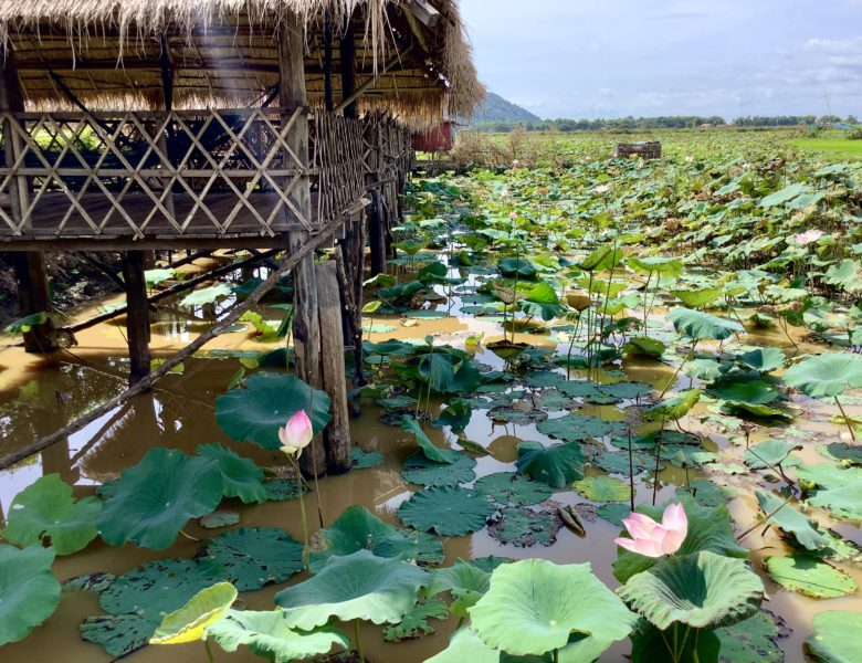 Лотосы как аграрная культура